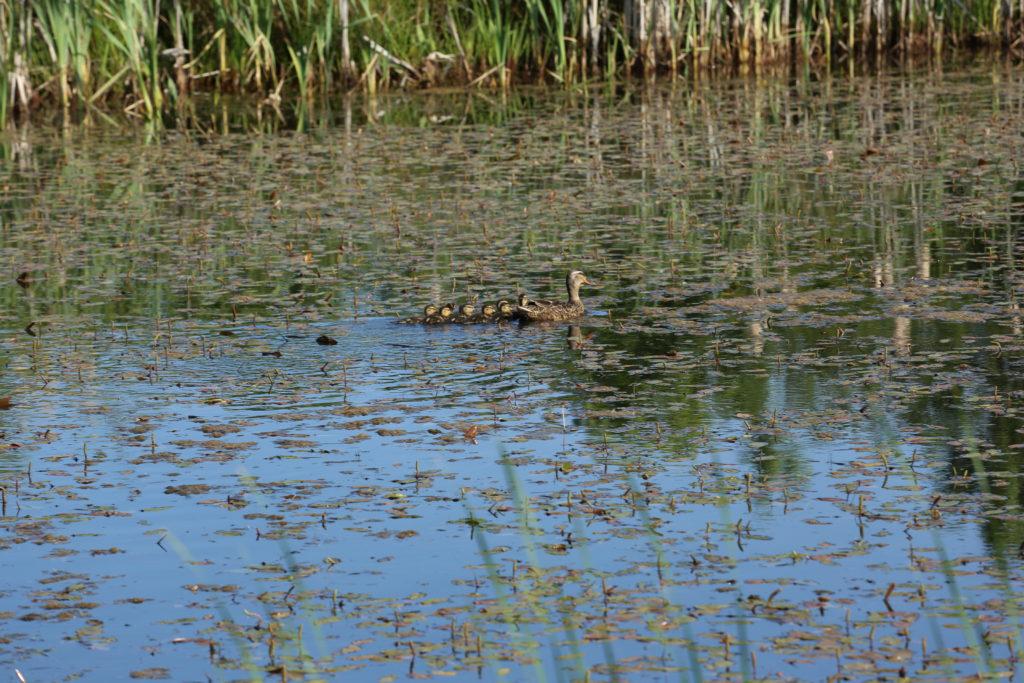 Sød ande familie ved søen i Vejerslev.